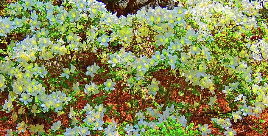 Photograph Digital Art - White Azalea Bush Close-up Aglow by Marian Bell