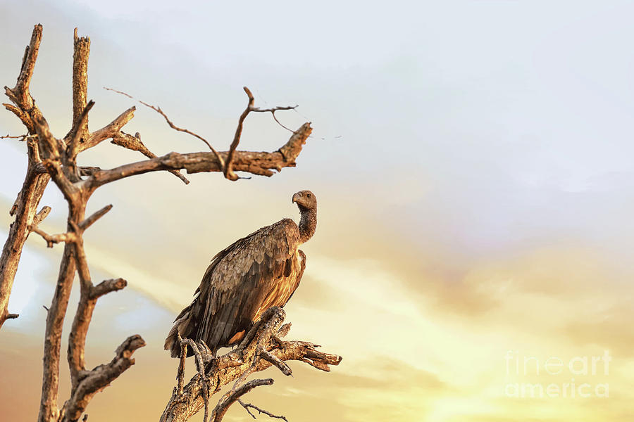 Vulture Photograph - White-backed Vulture by Jane Rix