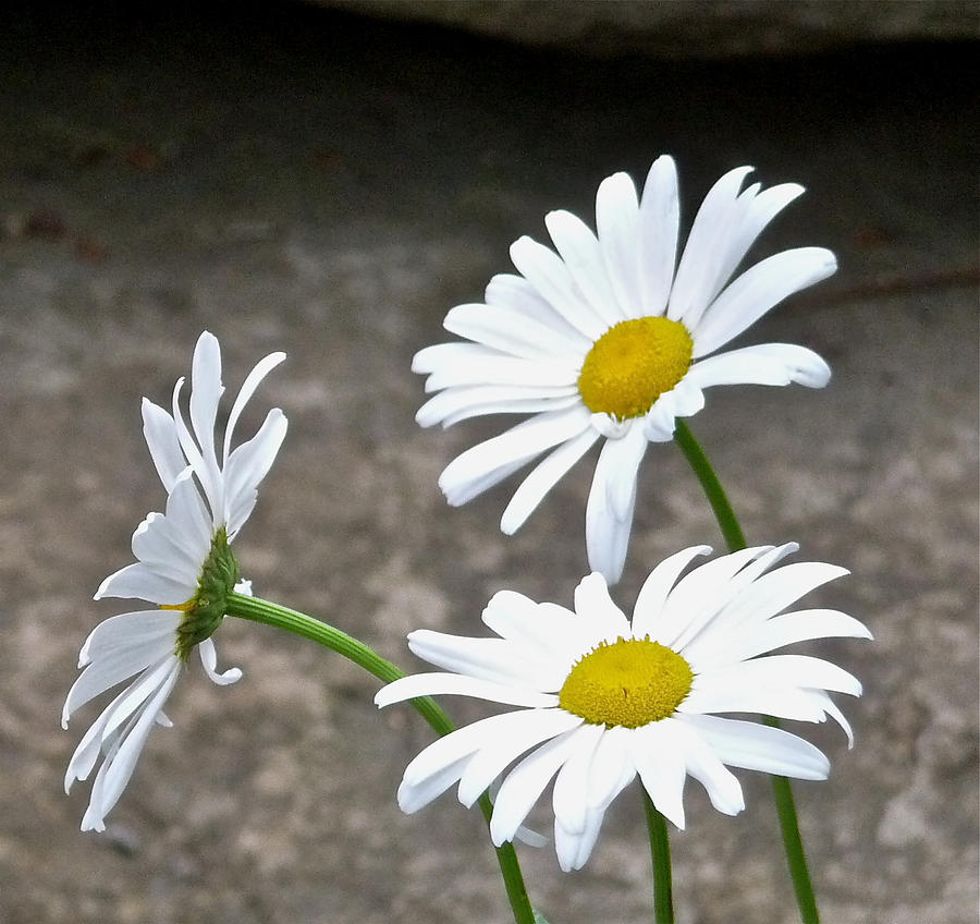 Daisies Photograph - White Balanced by Ivan Tamas
