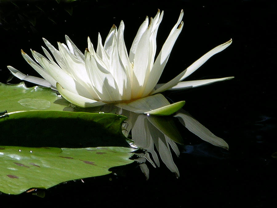 White Water Lily Photograph - White Beauty by John Lautermilch