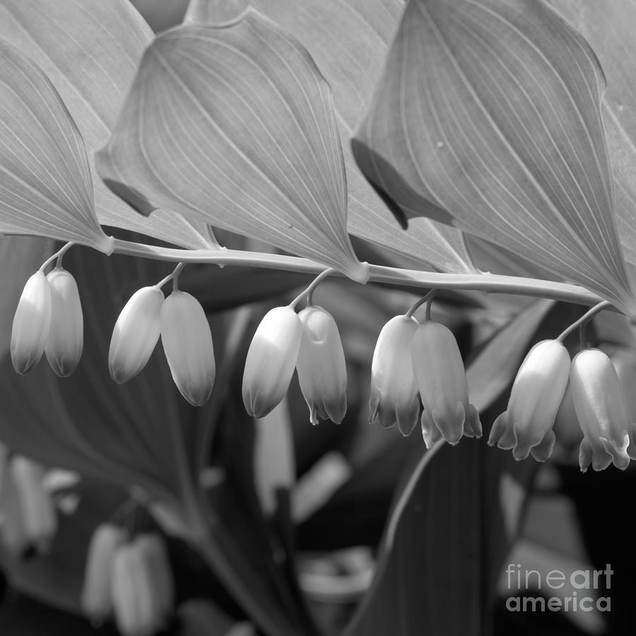 White bells flower photograph by konstantin sevostyanov beautifull photograph white bells flower by konstantin sevostyanov mightylinksfo