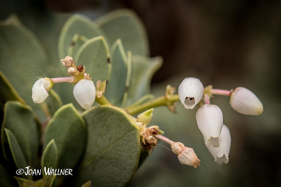 California Photograph - White Bells by Joan Wallner