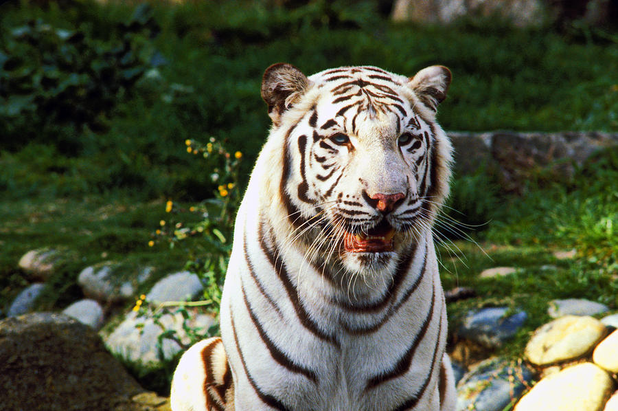 White Photograph - White Bengal Tiger  by Garry Gay