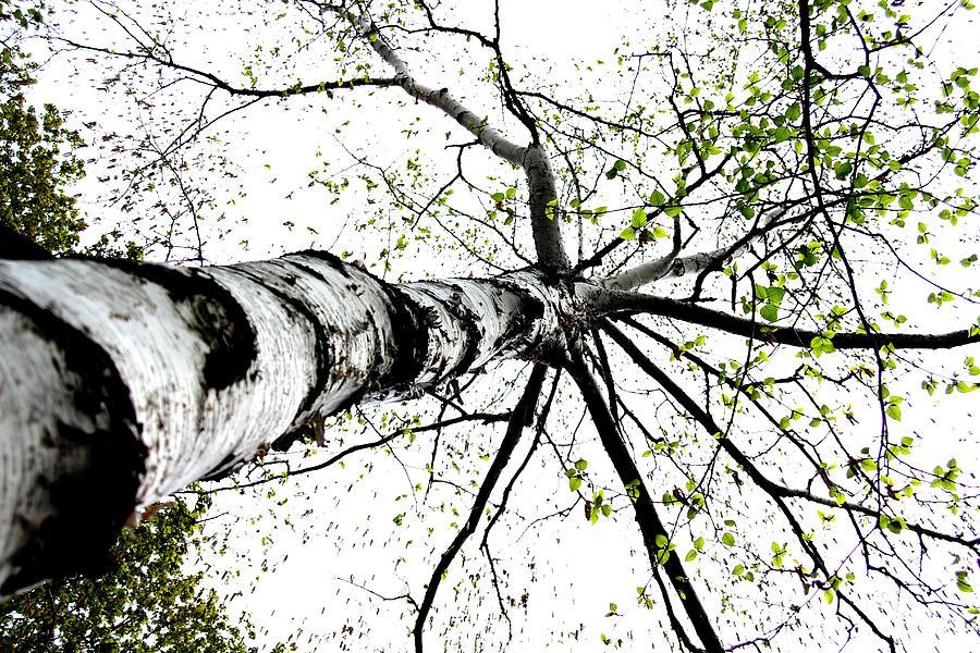 Nature Photograph - White Birch 2011-1a by Robert Morin