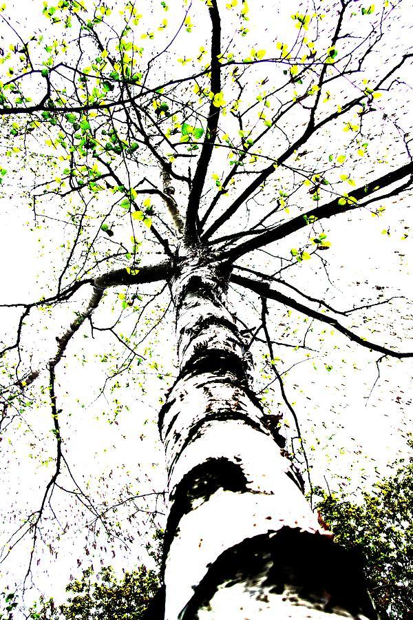 Nature Photograph - White Birch 2011-1b by Robert Morin