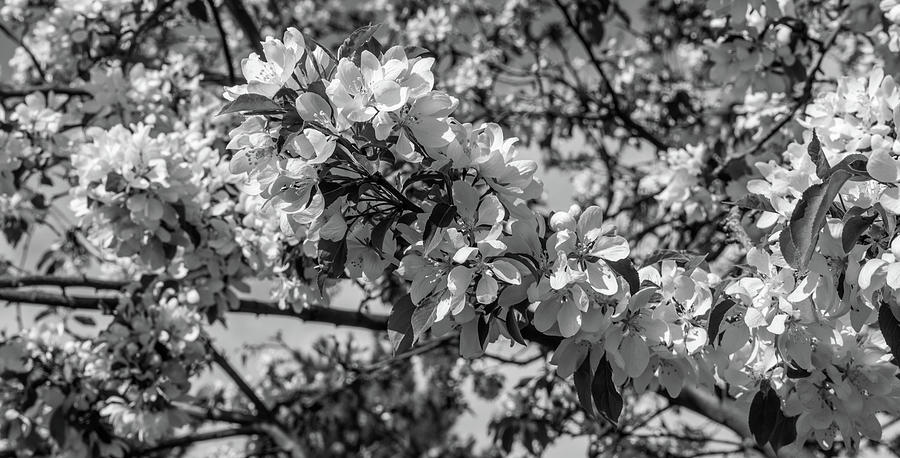 Black And White Photograph - White Blossoms In Black And White by Michael Putthoff