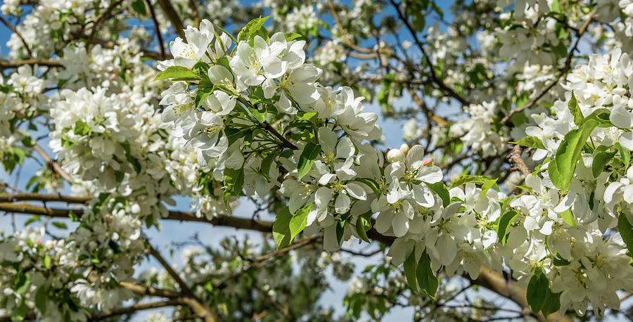Blossoms Photograph - White Blossoms by Michael Putthoff