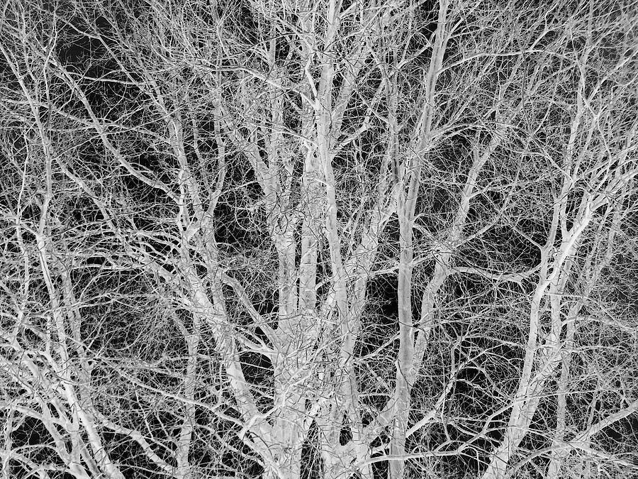 Tree Digital Art - White Branches by Munir Alawi