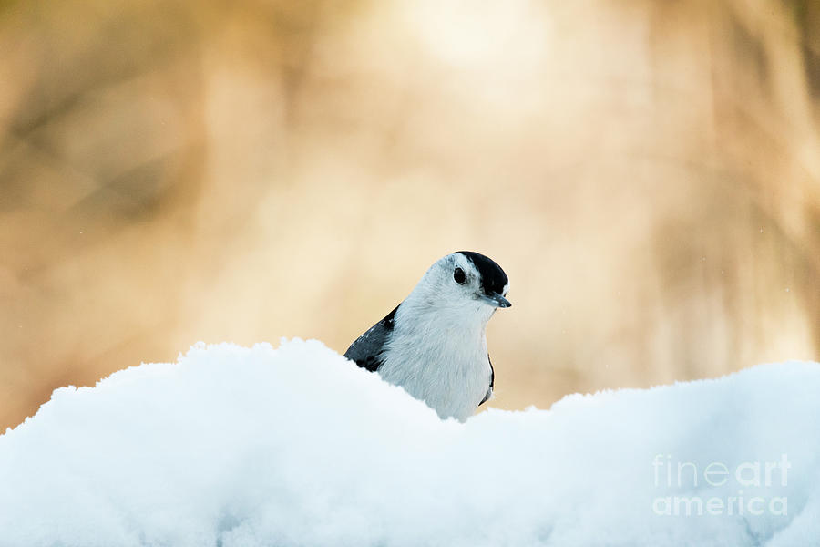 White Breasted Nuthatch in Snow by Katie Joya