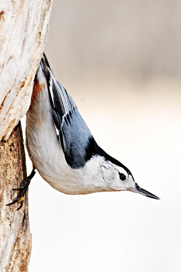 Nature Photograph - White-breasted Nuthatch by Larry Ricker