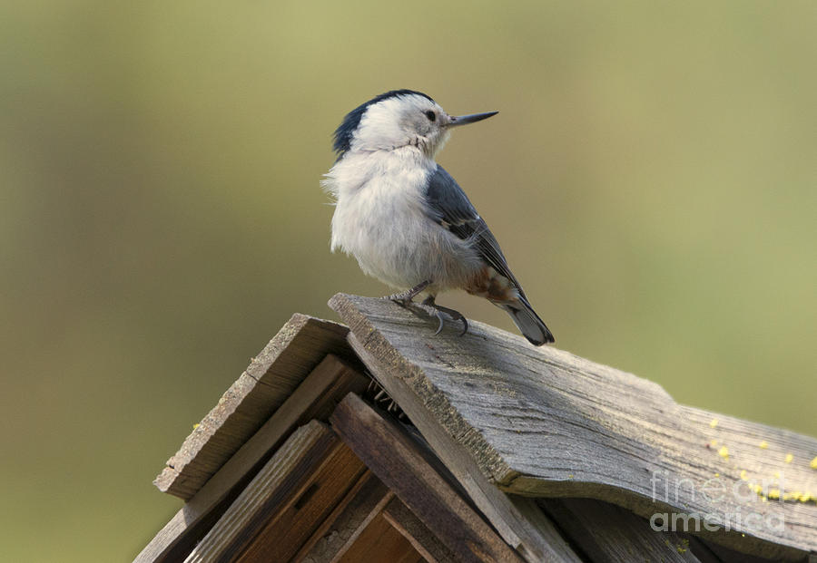 White-breasted Nuthatch Photograph - White-breasted Nuthatch by Mike Dawson