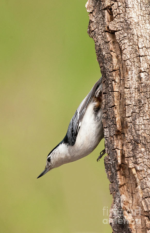 Wildlife Photograph - White-breasted Nuthatch by Nicolaas Honig