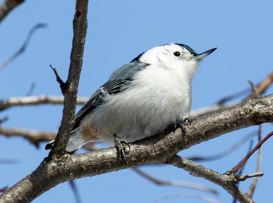 Canon Photograph - White-breasted Nuthatch Perched by Ricky L Jones