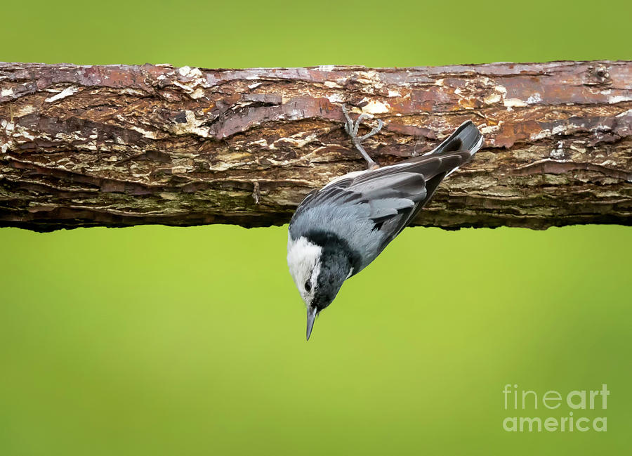 Canon Photograph - White-breasted Nuthatches by Ricky L Jones