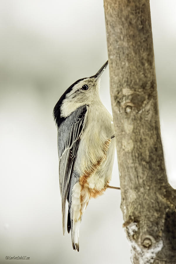 White-breasted Nuthatch Photograph - White-breasted Nuthatch by LeeAnn McLaneGoetz McLaneGoetzStudioLLCcom