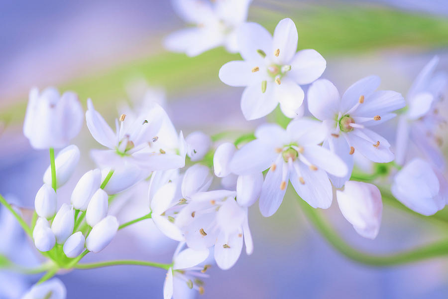 Nature Photograph - White Buds by Giovanni Allievi