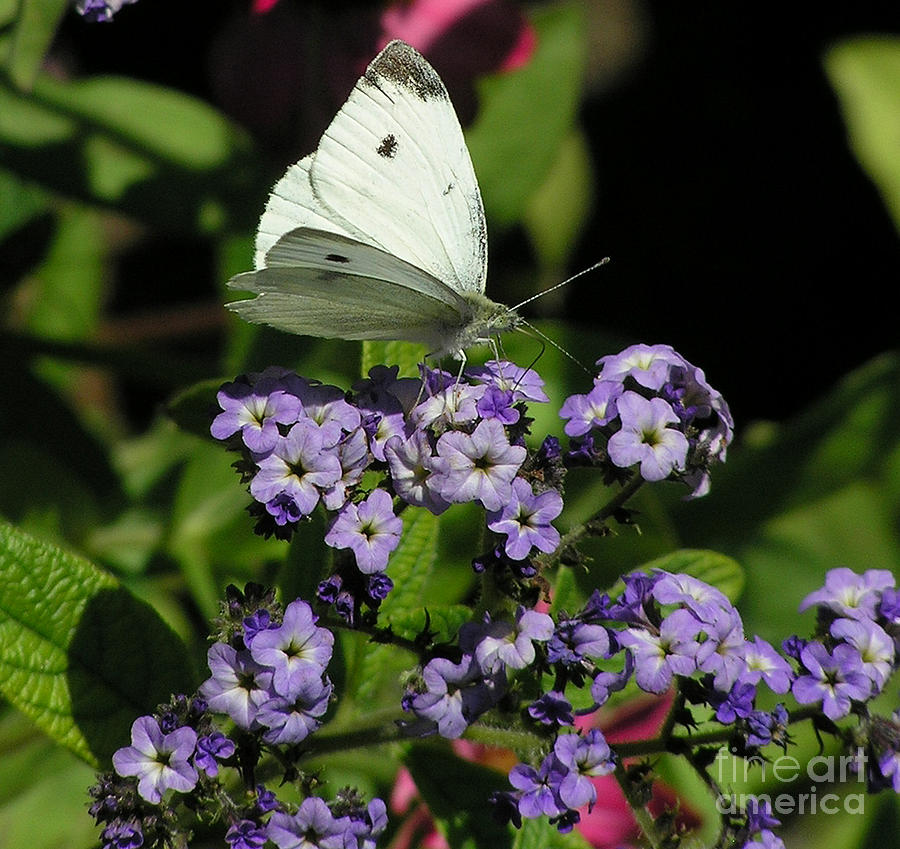 White Photograph - White Butterfly by Louise Magno