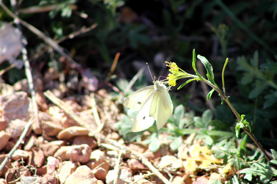 White Butterfly Photograph - White Butterfly On Goldenseal by Colleen Cornelius