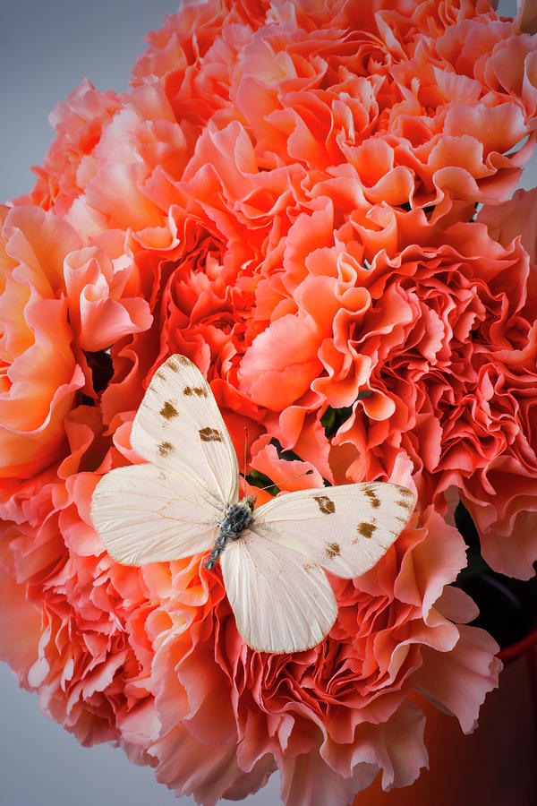 Carnations Photograph - White Butterfly On Pink Carnations by Garry Gay