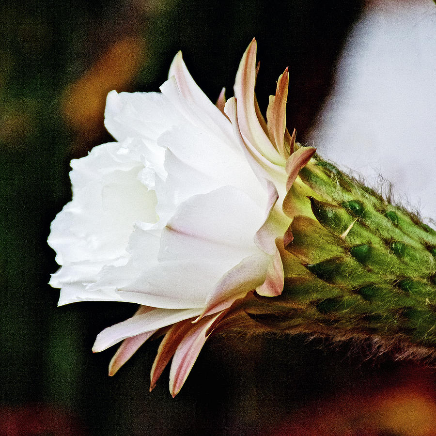 White Cactus Flower In Huntington Desert Garden In San Marino