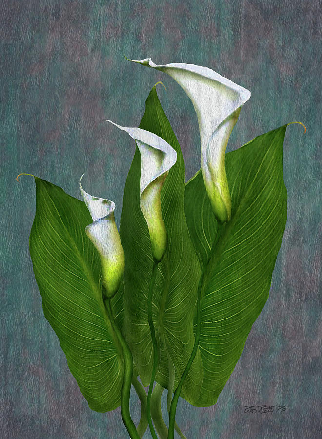 White Calla Lilies Painting by Peter Piatt
