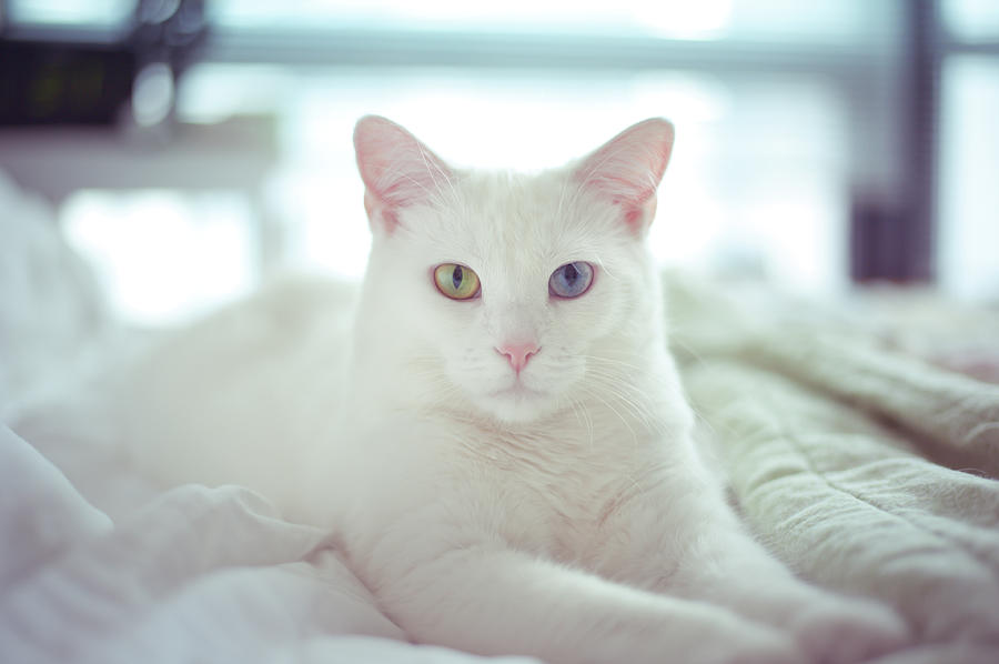 Horizontal Photograph - White Cat Laying On Comfy Bed by by Dornveek Markkstyrn