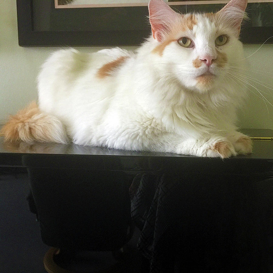 White Cat On Black Piano by Karen Zuk Rosenblatt