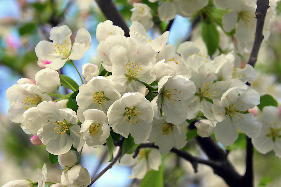 White Cherry Blossoms 2 Photograph By Isabela And Skender Cocoli