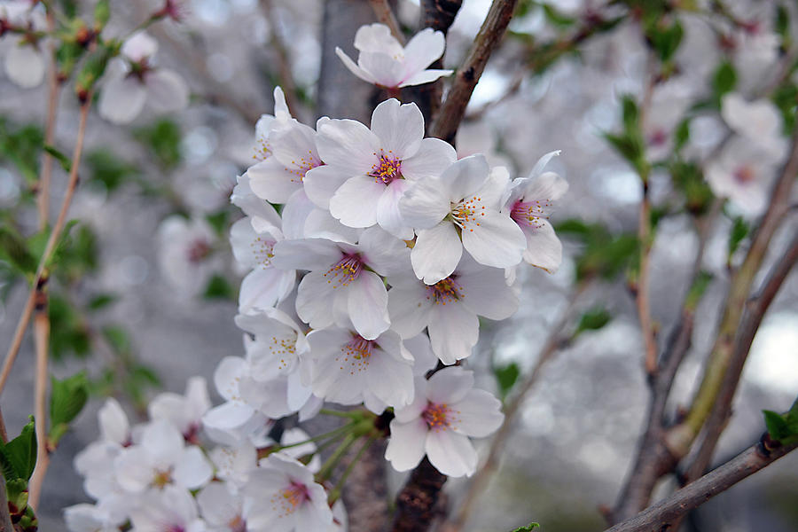 White Cherry Blossoms Photograph By Isabela And Skender Cocoli