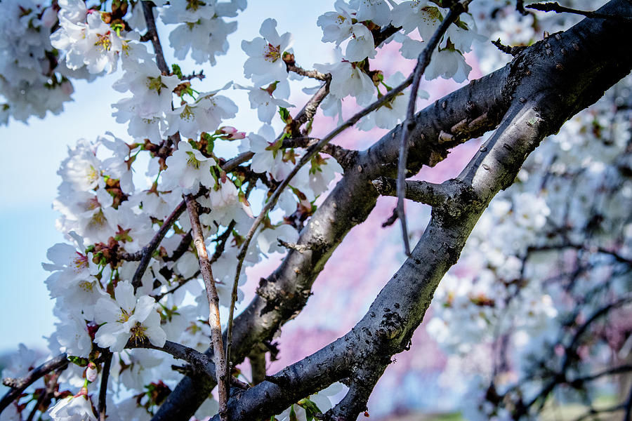 White Cherry Blossoms With Pink Background Photograph By Sarah M