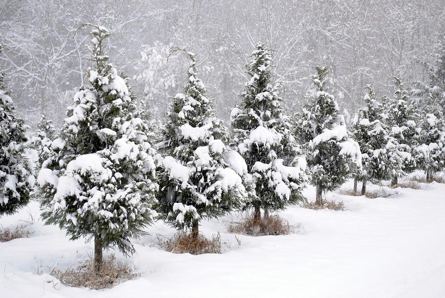 Newman Christmas Trees.White Christmas At The Christmas Tree Farm