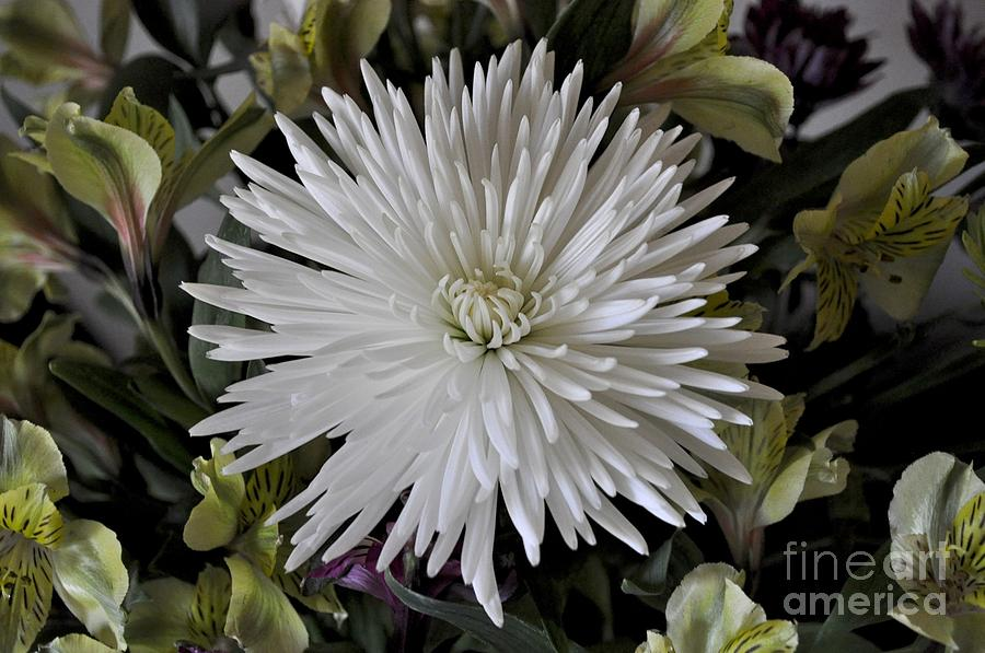White Chrysanthemum by Bridgette Gomes