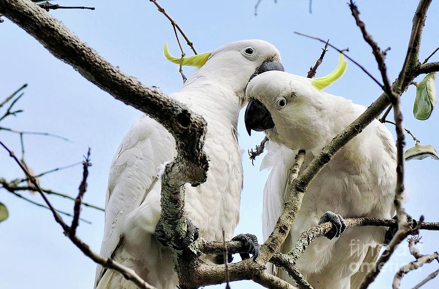 White Cockatoos Photograph