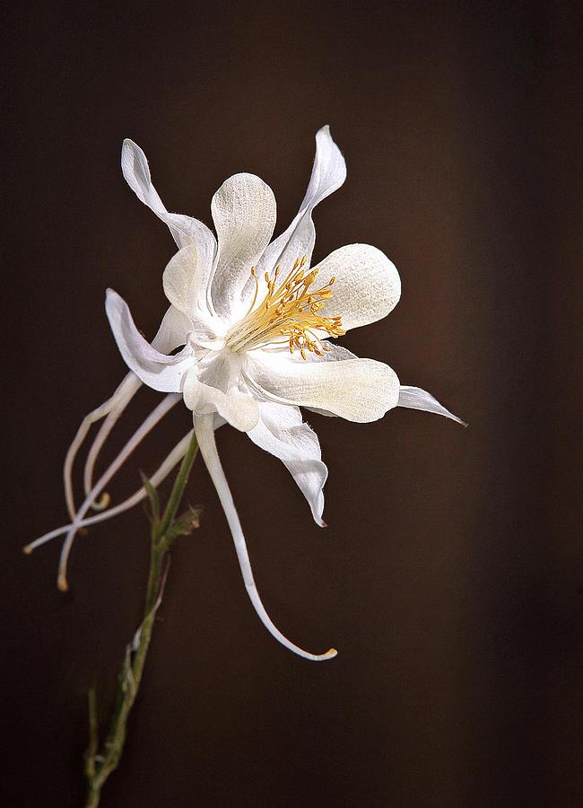 Columbine Photograph - White Columbine by James Steele