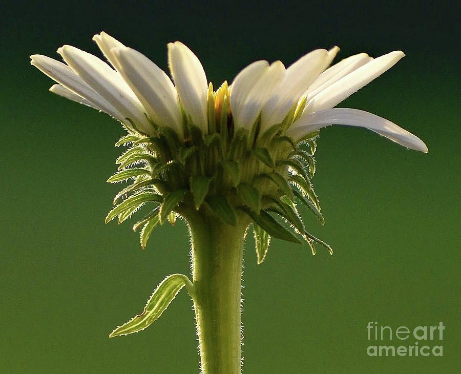White Coneflower Macro Photograph