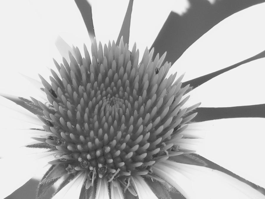 Coneflower Photograph - White Coneflower Macro Study 1 Filtered With Ss by Steve Lambert