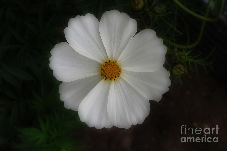 White cosmo flower photograph by kay novy cosmo photograph white cosmo flower by kay novy mightylinksfo