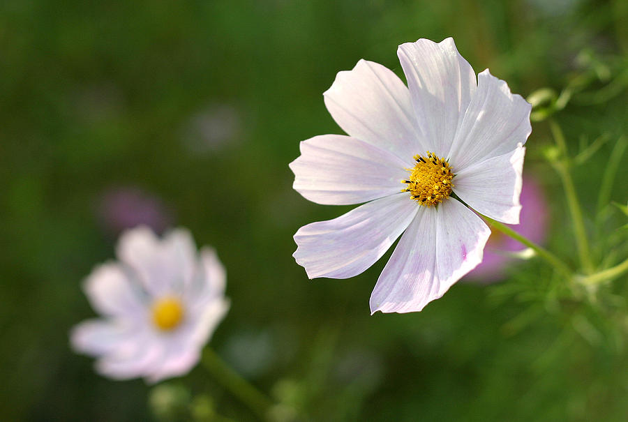 White Cosmos Flower Photograph By Pierre Leclerc Photography