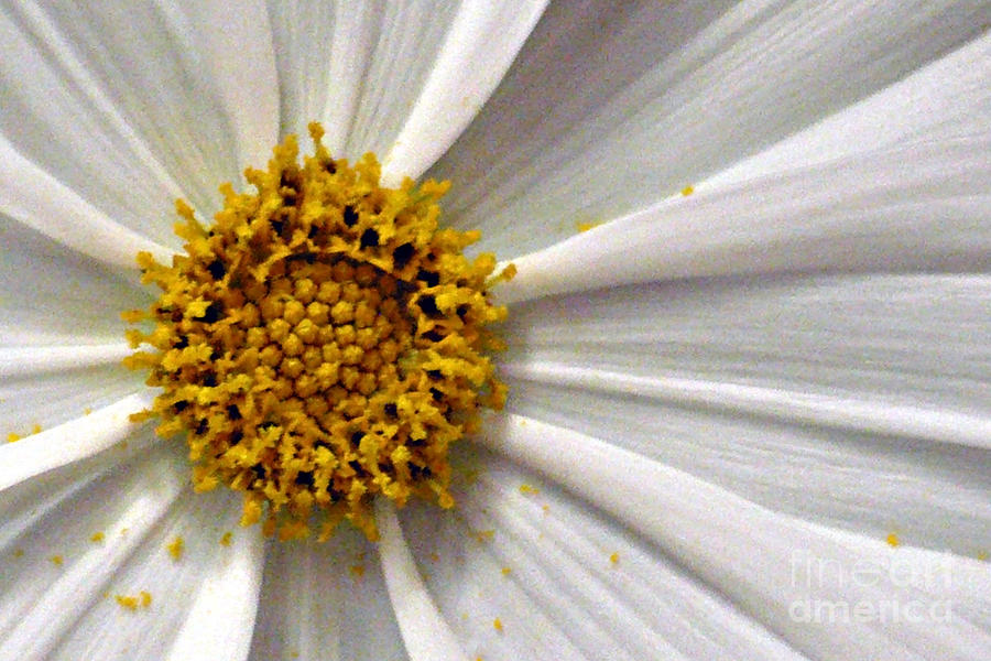 Flower Photograph - White Cosmos by Jacqueline Milner