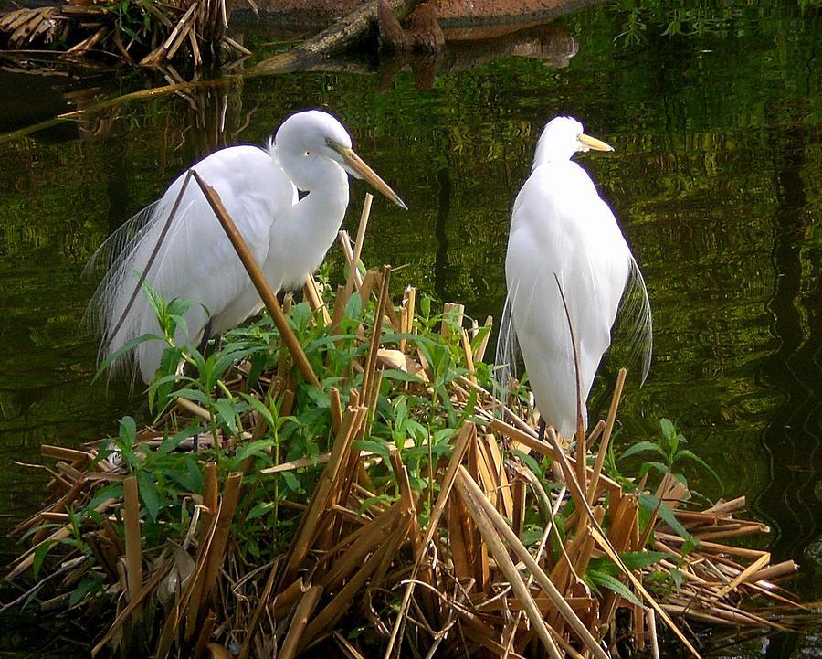 Birds Photograph - White Cranes by Cynthia Daniel
