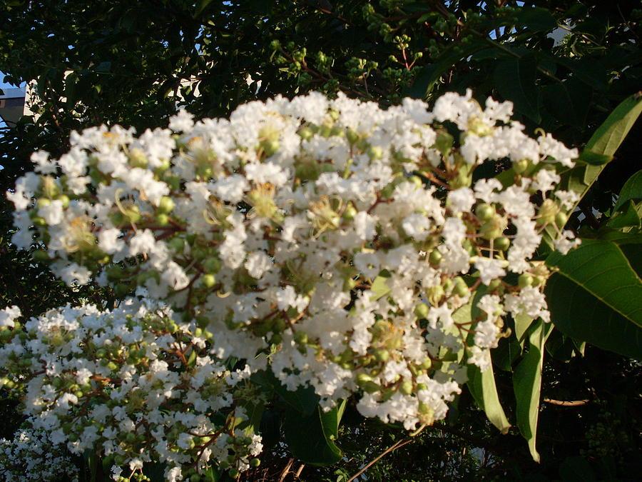 Crape Myrtle Trees Photograph - White Crape Myrtle Flower by Warren Thompson