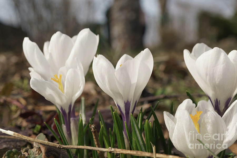 White crocus flower buds in the garden 1 photograph by valdis veinbergs flora photograph white crocus flower buds in the garden 1 by valdis veinbergs mightylinksfo