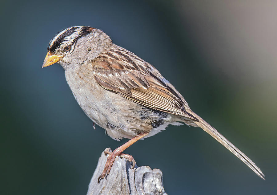Sparrow Photograph - White-crowned Sparrow by Carl Olsen