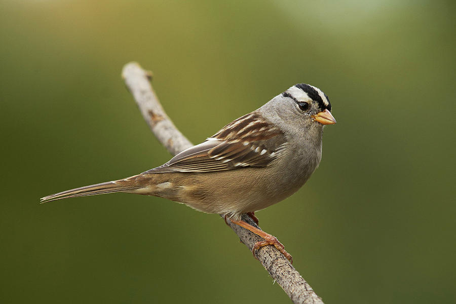 White-crowned Sparrow Photograph - White-crowned Sparrow by Doug Herr