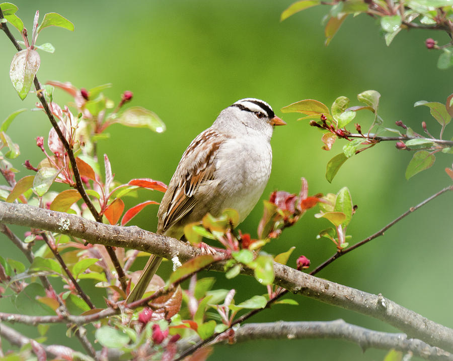 White-crowned Sparrow by Kristin Hatt