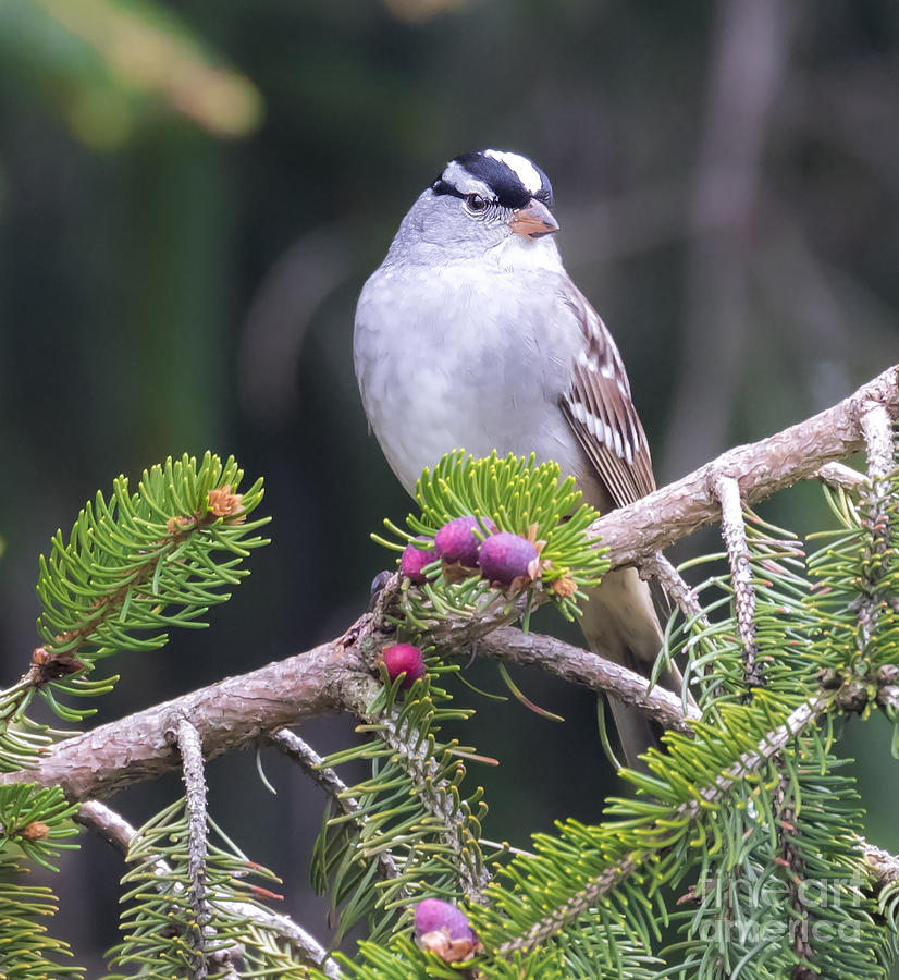 Canon Photograph - White-crowned Sparrow by Ricky L Jones