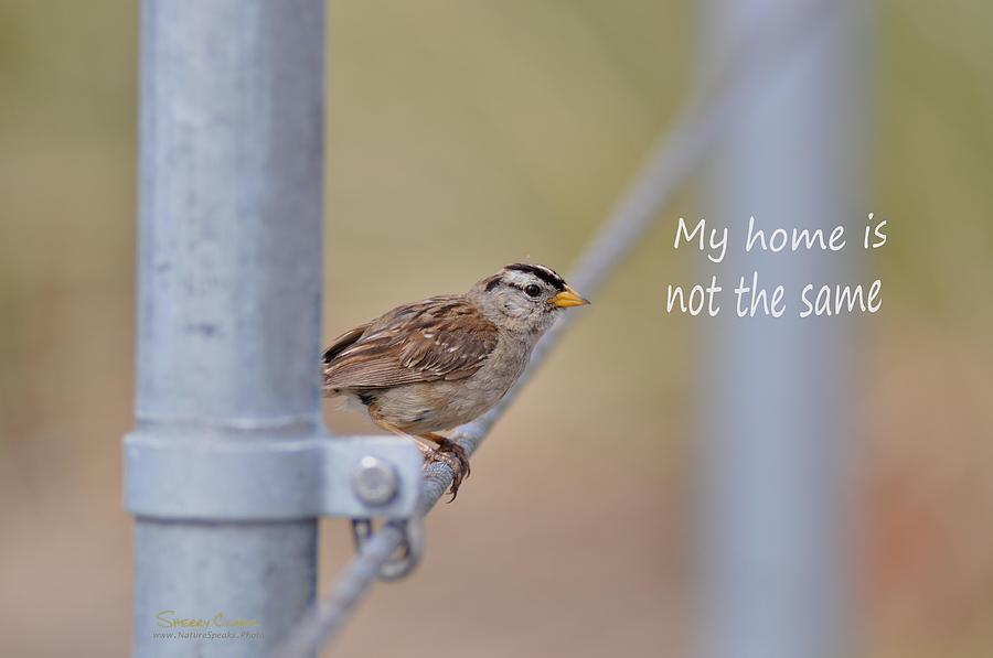 White Crowned Sparrow says My Home is Not the Same Photograph by Sherry Clark