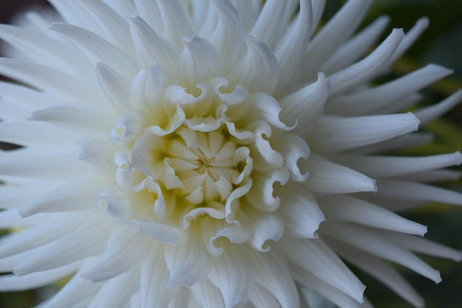 White Dahlia by Gallery Of Hope