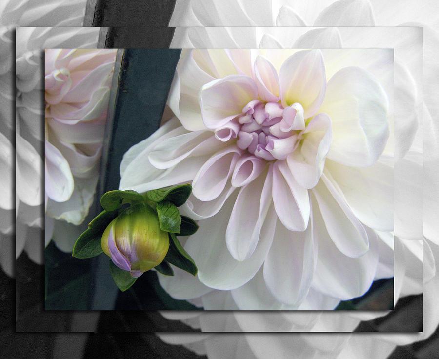 Floral Photograph - White Dahlia Medley V by D Kadah Tanaka