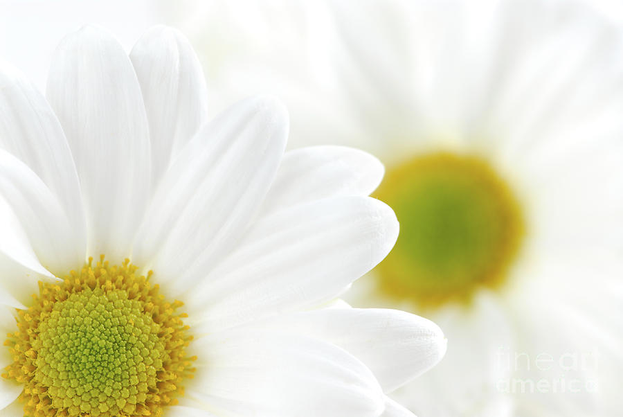 Daisy Photograph - White Daisies by Elena Elisseeva